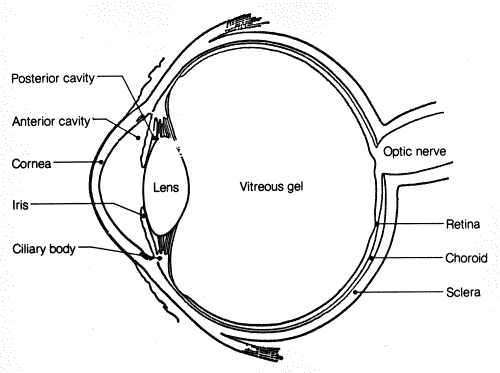 Sketch of Human Eye