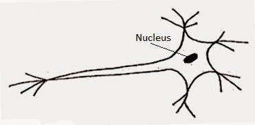 http://2.bp.blogspot.com/-VD4MSNKTSQA/VO37YKHGVDI/AAAAAAAAED4/CEJWreb2akc/s1600/diagram-of-nerve-cell.jpg
