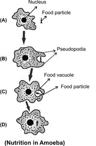 How Amoeba obtain its food